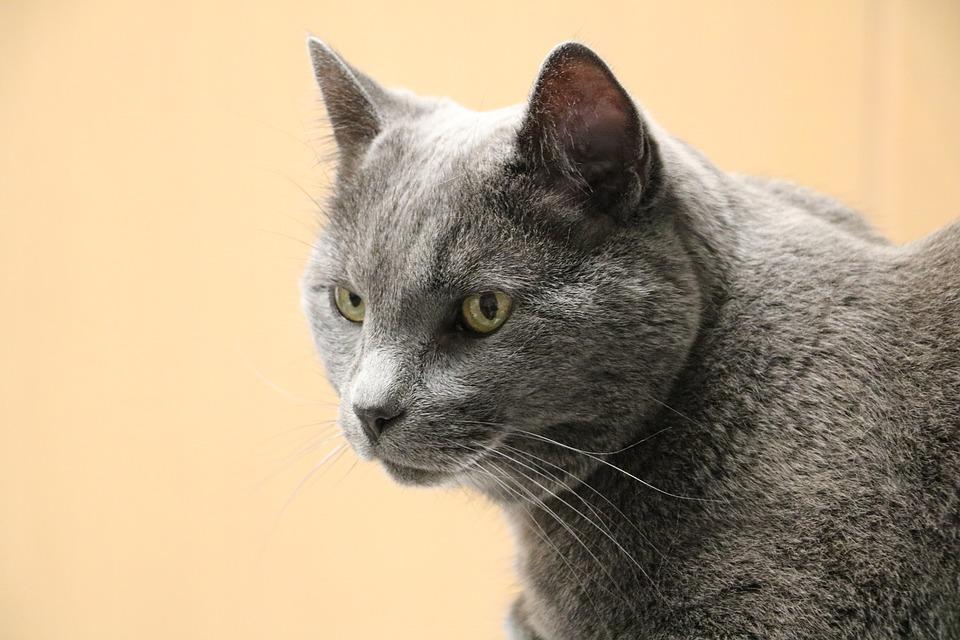 gri kedi