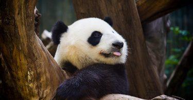 Rüyada Panda