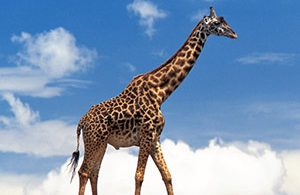 Rüyada Zürafa