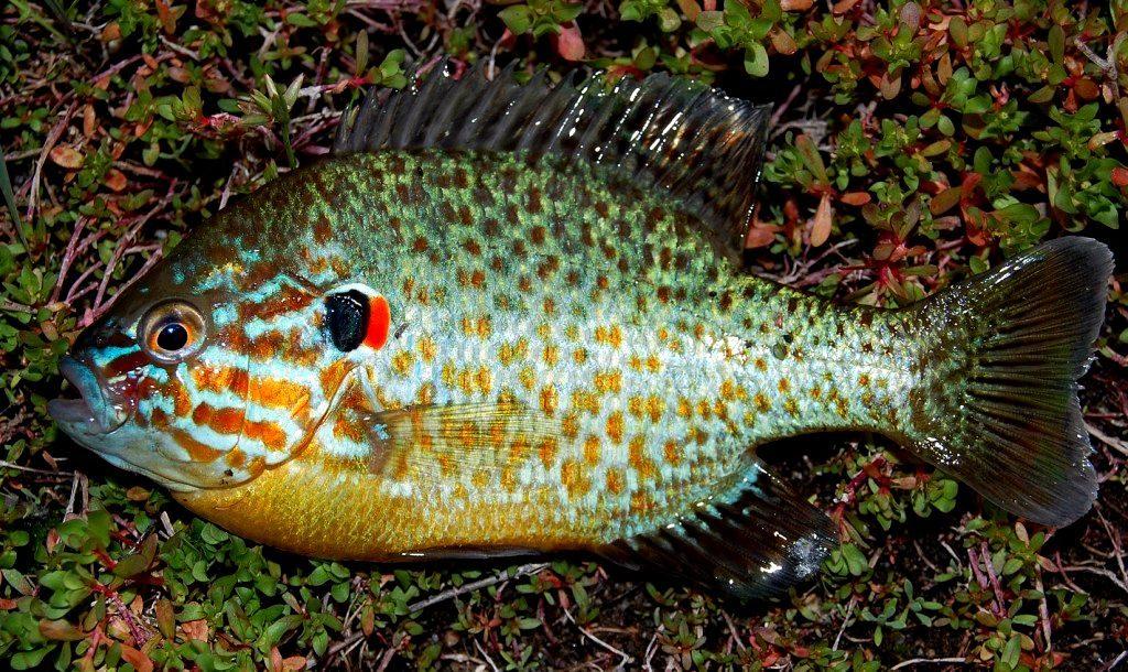 zararlı balık