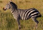Rüyada Zebra
