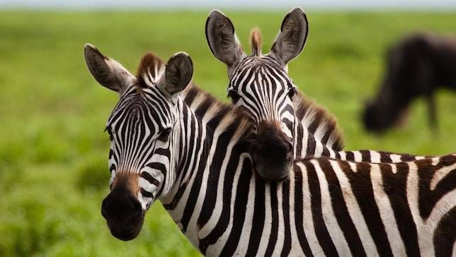Zebra Beslemek