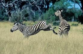 Uçan Zebra