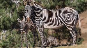 Yavru Zebra