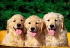 3 tane köpek