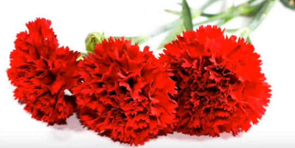 Kırmızı Karanfil