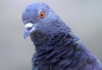 Rüyada Mavi Güvercin Görmek