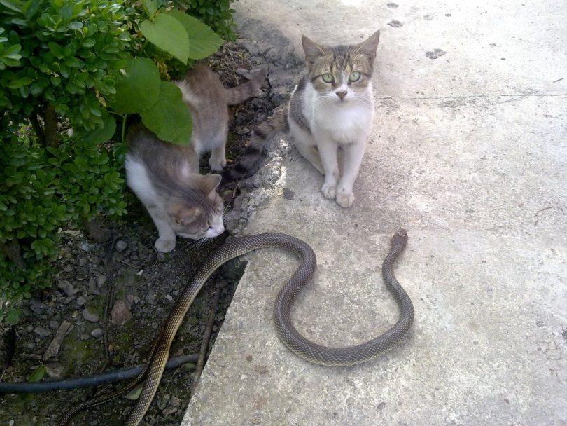 Rüyada Yılan Ve Kedi Görmek