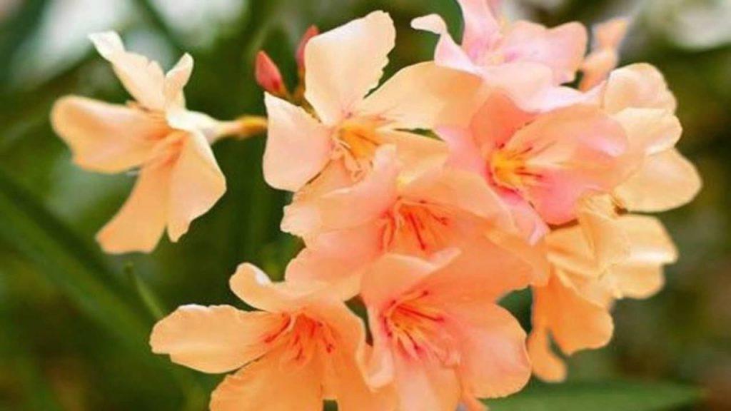 Rüyada Zakkum Çiçeği Görmek Koparmak