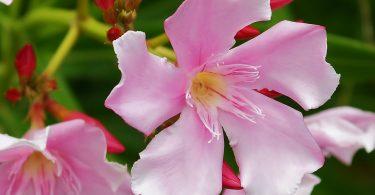 Rüyada Zakkum Çiçeği Görmek
