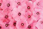 Rüyada Pembe Çiçek Görmek