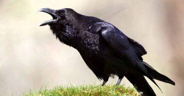 Rüyada Siyah Kuşlar Görmek
