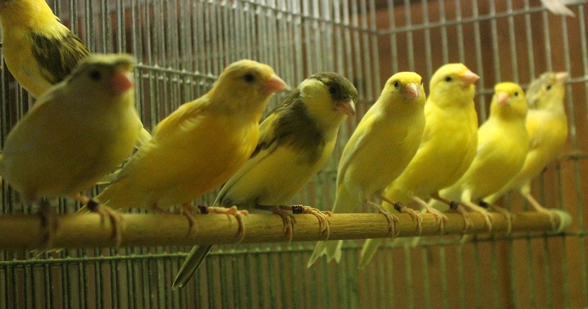 Rüyada Kafeste Kanarya Kuşu Görmek