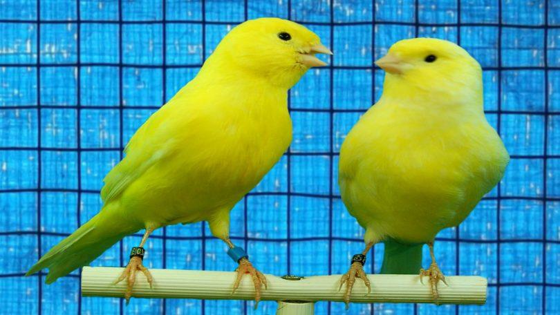 Rüyada Kanarya Kuşu Görmek