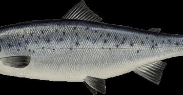 Rüyada Çupra Balığı Görmek