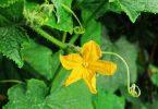 Rüyada Kabak Çiçeği Görmek