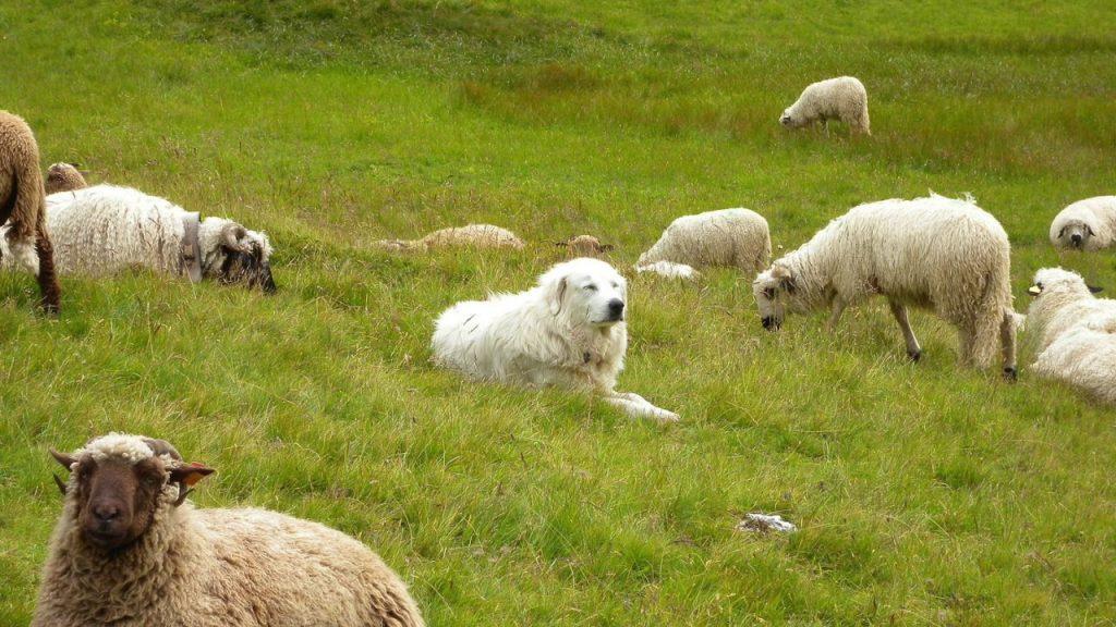 Rüyada Sürü Halinde Koyun ve Çoban Köpeği Görmek