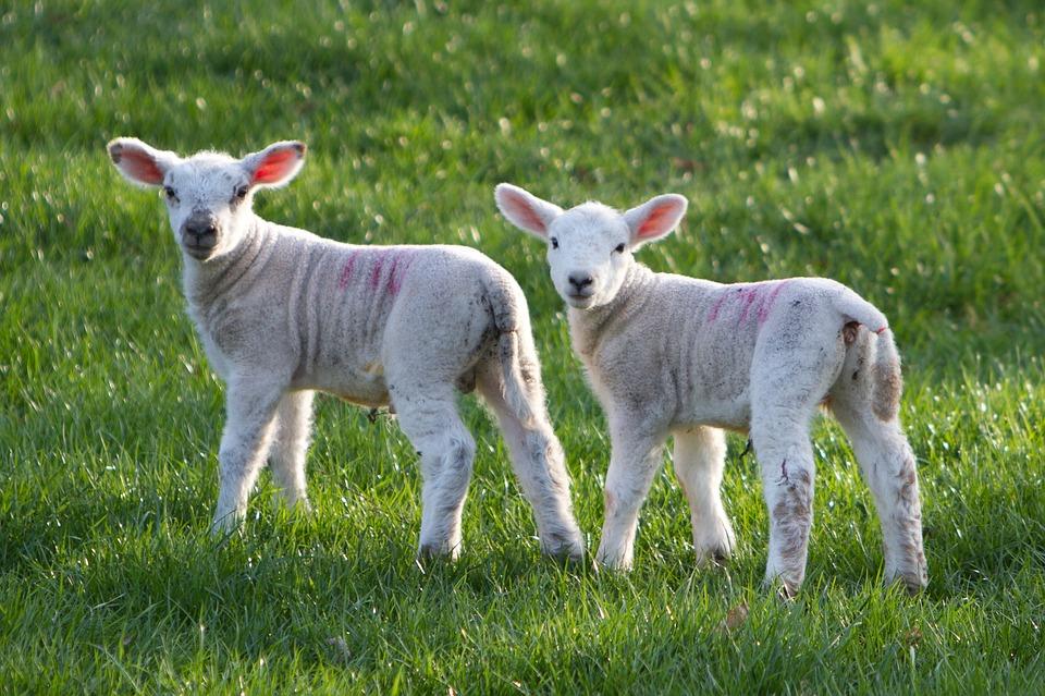 Rüyada Sürü Halinde Koyun Görmek ve Sürünün İçine Girmek