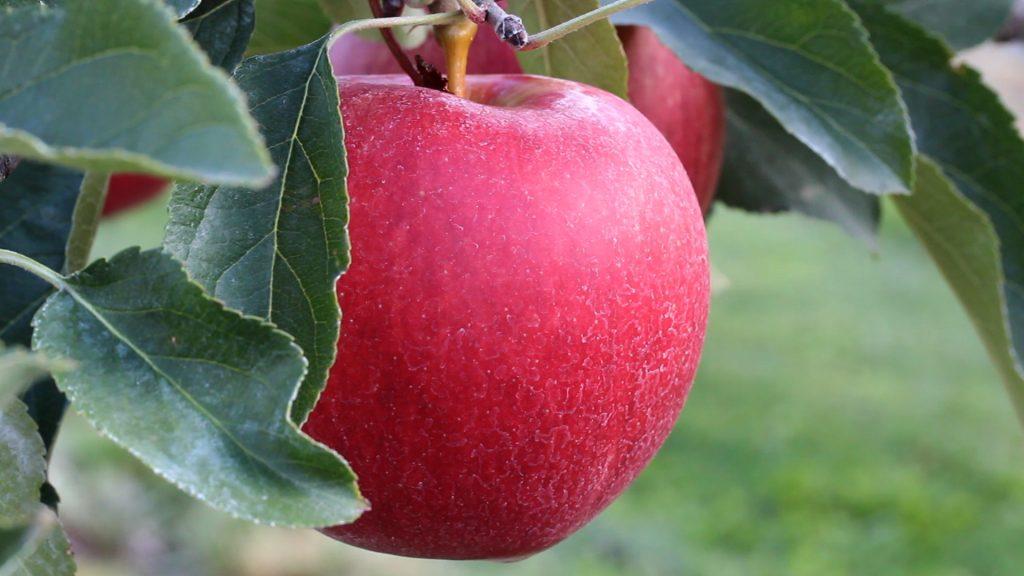 Rüyada Kırmızı Elma Toplamak ve Çürük Elma Yemek