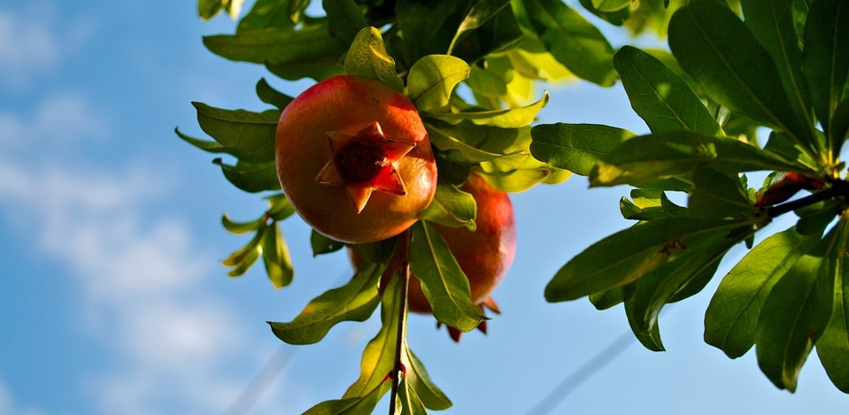 Rüyada Nar Ağacı Tohumu Yemek Görmek