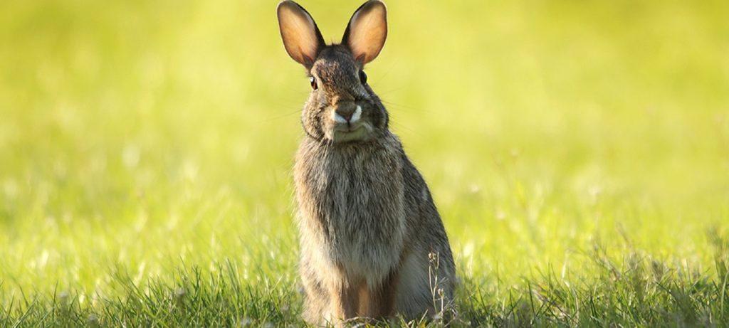 Rüyada Hamile Tavşan Yakalamak