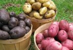 Rüyada Patates Toplamak