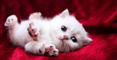 Rüyada Yavru Kedi Kurtarmak