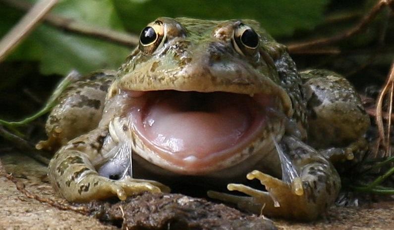 Rüyada Büyük Kurbağa Görmek ve Evde Olması
