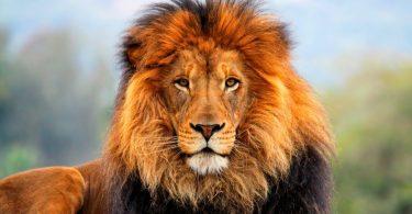 Rüyada Aslanın Kovalaması