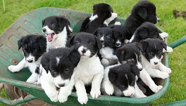 Rüyada Birden Fazla Siyah Köpek Görmek