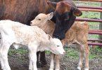 Rüyada ikiz inek yavrusu görmek