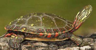 Rüyada Kaplumbağa Doğurmak