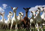 Rüyada Keçi Sürüsü Görmek