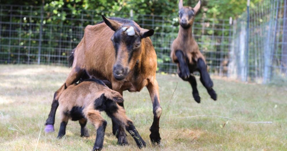 Rüyada Keçi Kesildiğini Görmek ve Keçiyi Sevmek