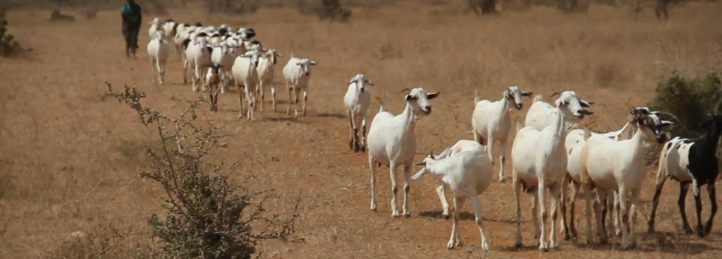 Rüyada Keçi Sürüsü Görmek ve Sağmak