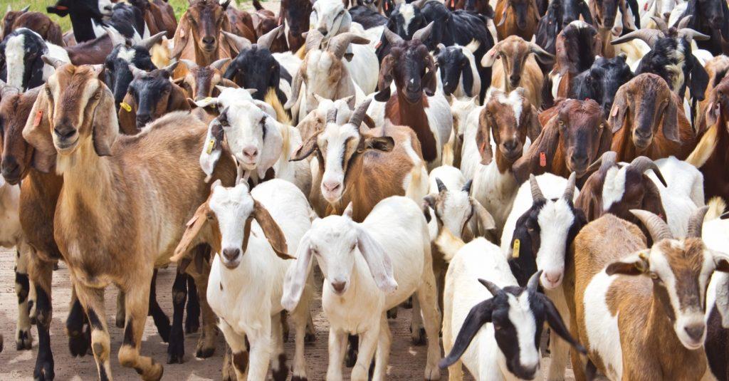 Rüyada Keçi Sürüsü Beslemek Görmek