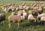 Rüyada Koyun Yünü Görmek