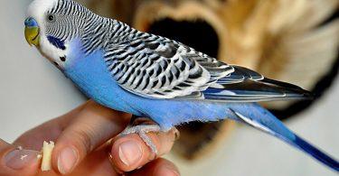 Rüyada Mavi Renk Muhabbet Kuşu Görmek