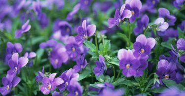 Rüyada Menekşe Çiçek Görmek