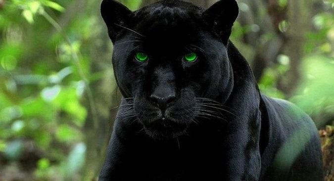 Rüyada Vahşi Siyah Panter Görmek