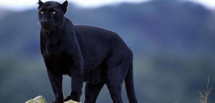 Rüyada Siyah Panter Görmek ve Saldırması