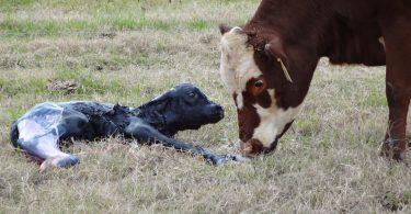 Rüyada Doğum Yapan inek Görmek