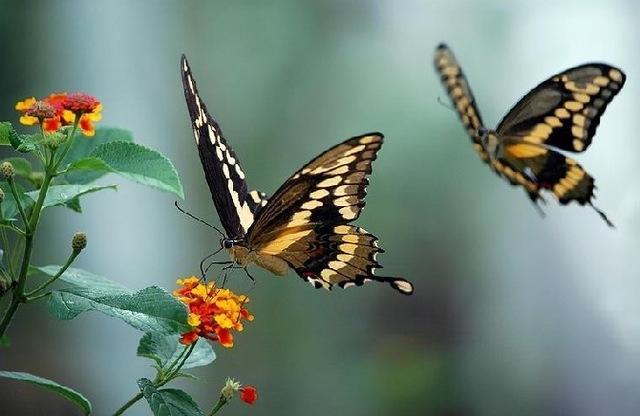 Rüyada Evde Uçan Güzel Kelebek Yanında Görmek