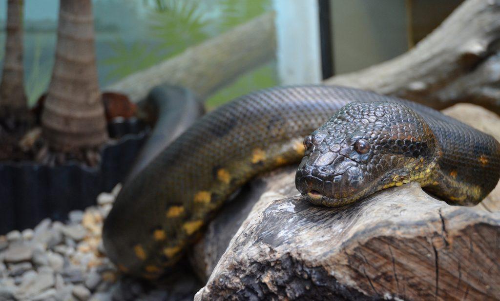 Rüyada Büyük Anakonda Piton Yılanı Yakında Görmek