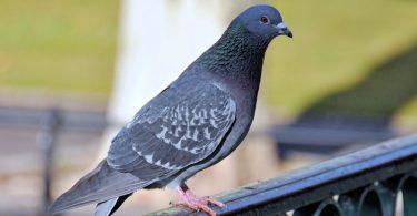 Rüyada Güvercin Tutmak