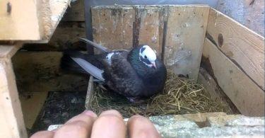 Rüyada Güvercin Yumurtası Görmek