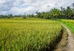 Rüyada Pirinç Tarlası Görmek