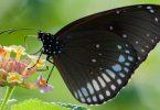 Rüyada Siyah Kelebek Görmek