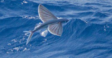 Rüyada Uçan Balık Görmek