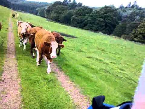Rüyada Büyük İnek Hızlı Kovalaması Çiftlikte Görmek